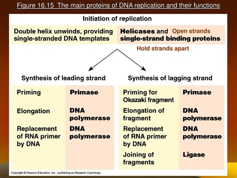 PPT - DNA Replication and Repair PowerPoint Presentation
