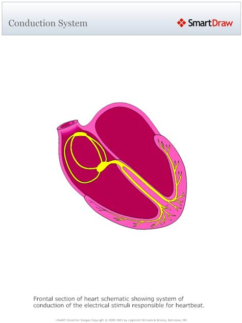 cardiac conduction | Medical Pictures Info - Health